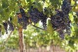 Plantación de Vinos en Mendoza