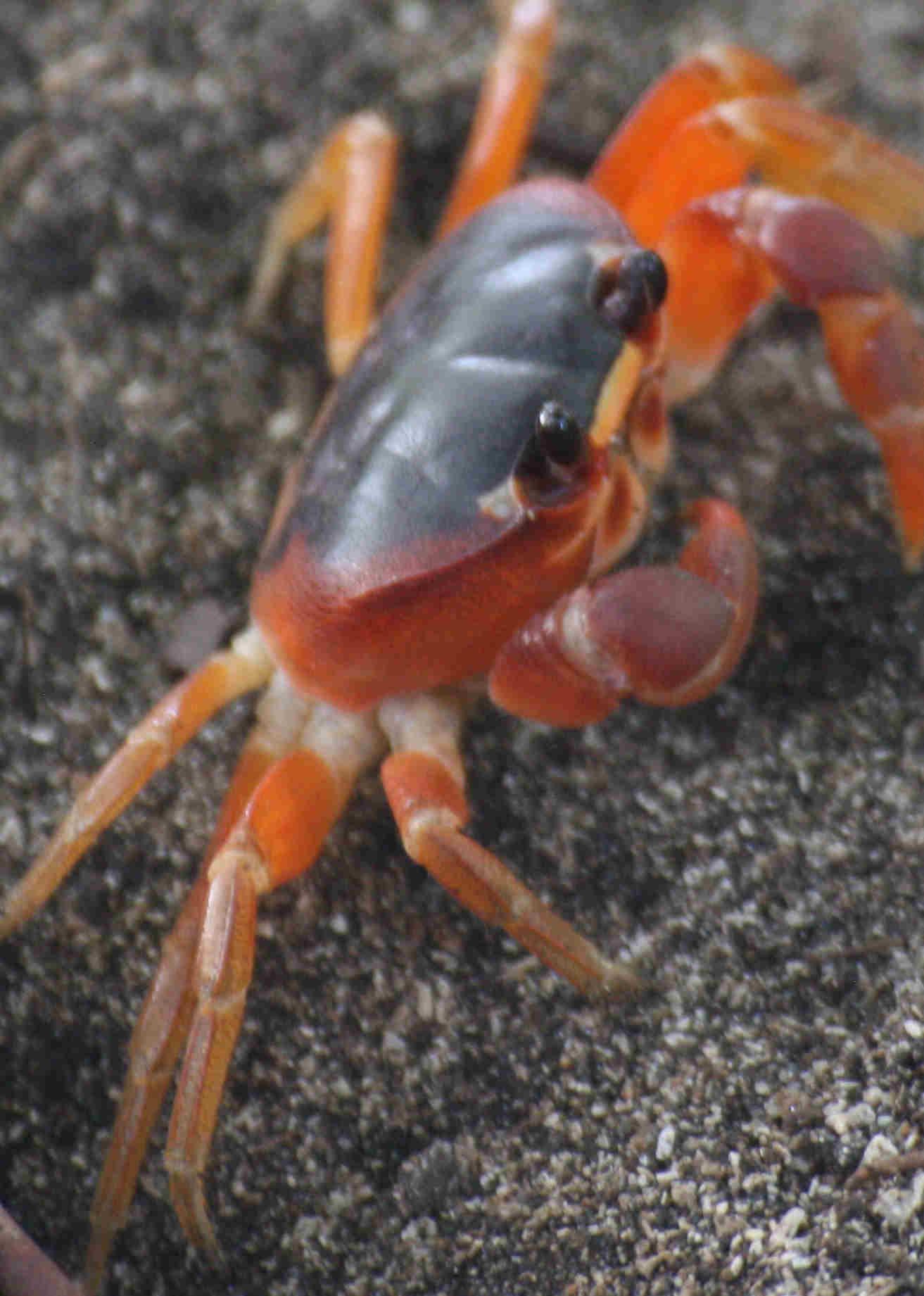 Img 7921 cangrejo rojo 2