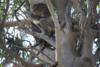 Koalabis thumb