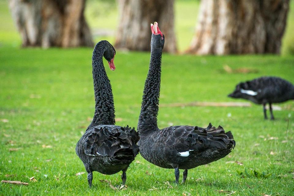 ¿Qué son los cisnes negros en bolsa?