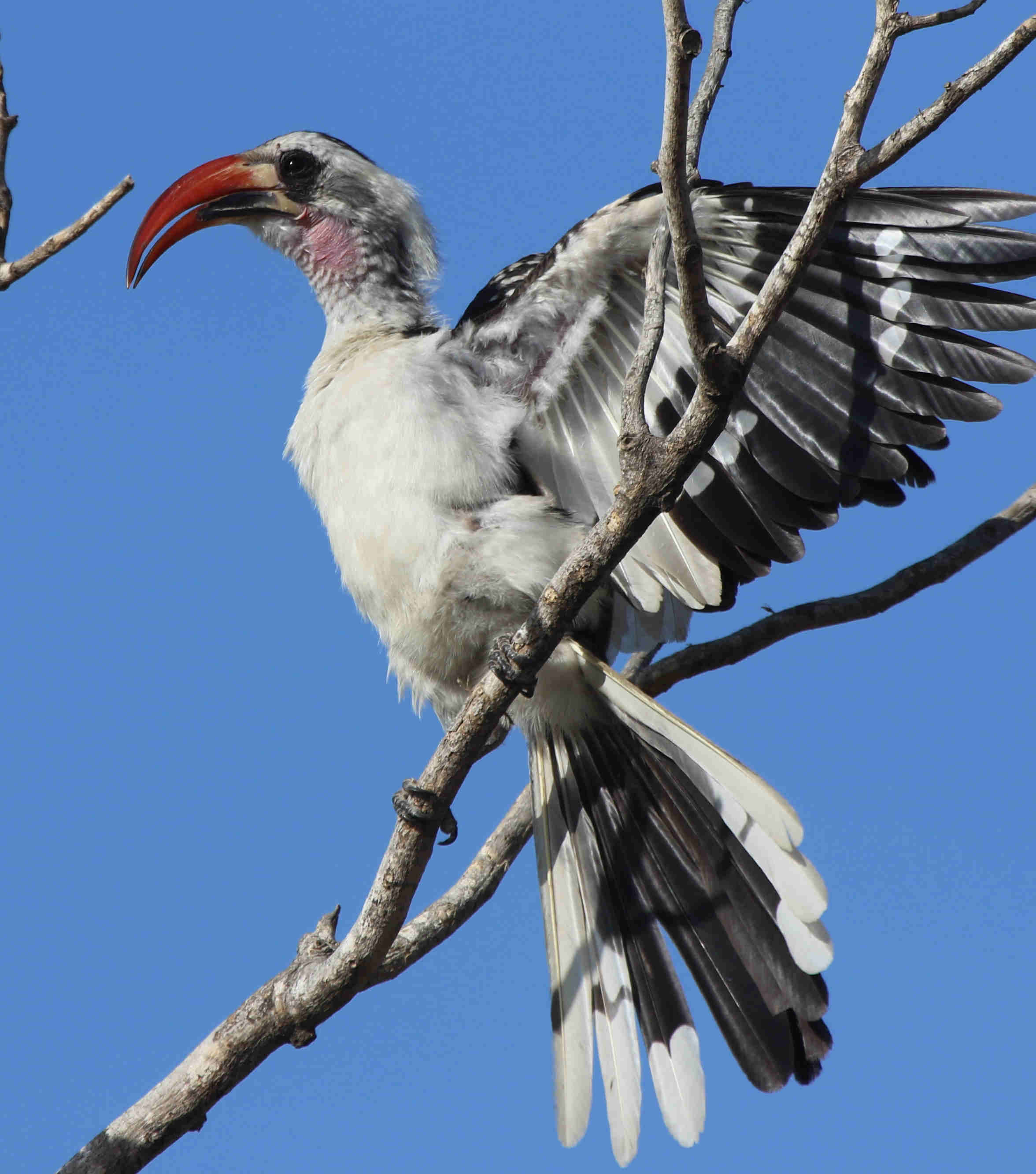 42 western red billed hornbill tockus kempi c%c3%a1lao de pico rojo occidental 3