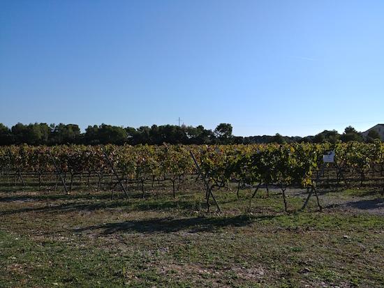 Viñas Bodegas Torres
