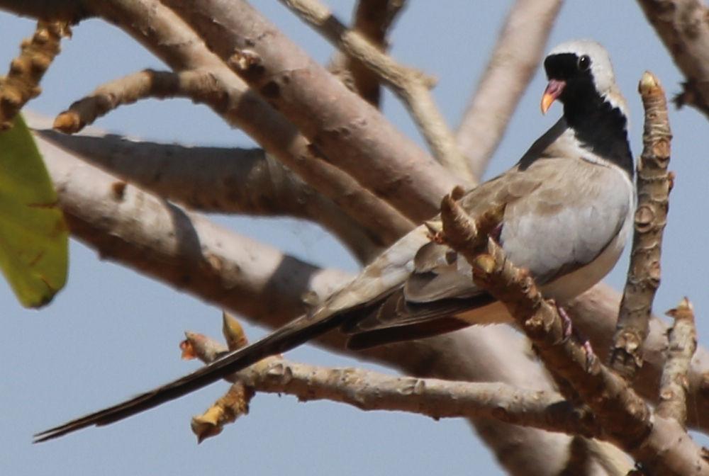 109 namaqua dove oena capensis capensis tortolita rabilarga